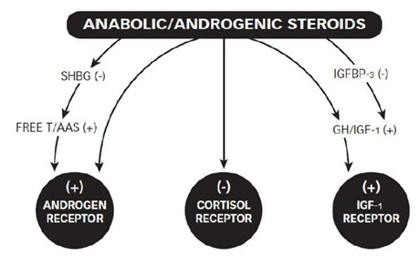 Direct and Indirect Anabolic Effects
