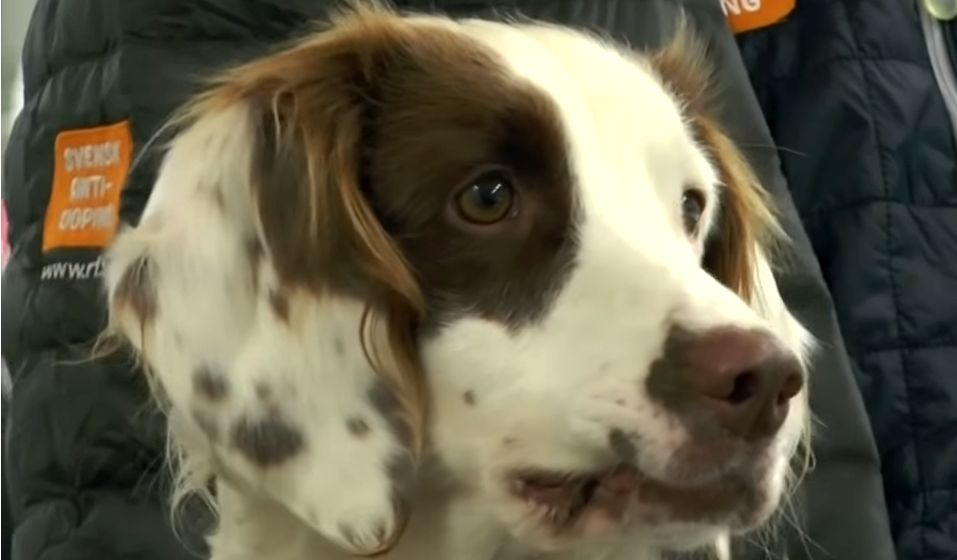 Molly the Steroid-Sniffing Springer Spaniel is the World's First Anti-Doping Dog